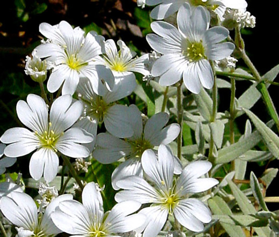 Snow in Summer Seeds - Cerastium Tomentosum 2