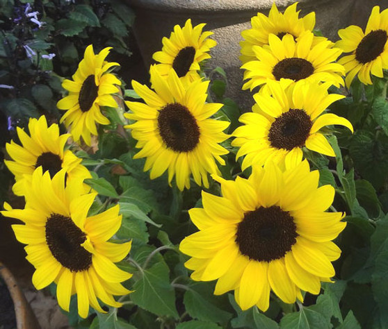 Sunflower Lemon Queen Non GMO Seeds - Helianthus Annuus