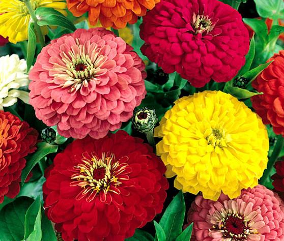 Zinnia Dahlia Mix Seeds - Zinnia Elegans