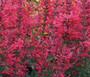 Agastache Heather Queen Non GMO Seeds - Agastache Cana