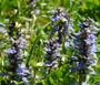 Ajuga Bugleweed Seeds - Ajuga Reptans 2