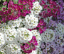 Alyssum Paletta Mix Seeds - Lobularia Maritima