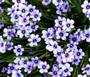 Blue Eyed Grass Seeds - Sisyrinchium Bellum