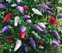 Butterfly Bush Mix Seeds - Buddleia Davidii