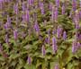 Hyssop Lavender Licorice Mint Non GMO Seeds - Agastache Foeniculum