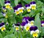 Johnny Jump Up Seeds - Viola Cornuta 2