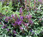 Sage Garden Non GMO Seeds - Salvia Officinalis