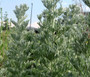 Wormwood Common Non GMO Seeds - Artemisia Absinthium 2