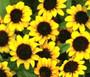 Zinnia Creeping Seeds - Sanvitalia Procumbens