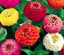Zinnia Lilliput Mix Seeds - Zinnia Elegans
