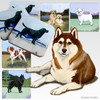Brown and White Siberian Husky Scenic Coasters