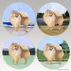 Mixed set of bisque coasters with the Red Pomeranian on 4 different backgrounds.