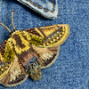 Embroidered & Beaded Gold Moth Pin, close up, on clothing