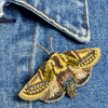 Embroidered & Beaded Gold Moth Pin, on clothing