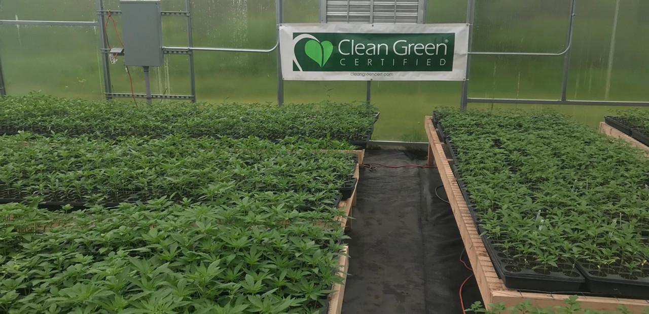 Nursegrown Organics Vermont Hemp and CBD. Picture of hemp plants.