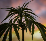 Why We Like Female Cannabis Plants
