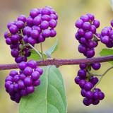 Terpene Tuesday: Borneol