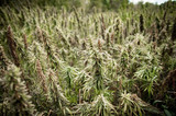 Valuing Vermont Hemp Rules