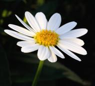 Terpene Tuesday: Bisabolol