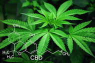 Medical Marijuana Update: CBD Critical Mass