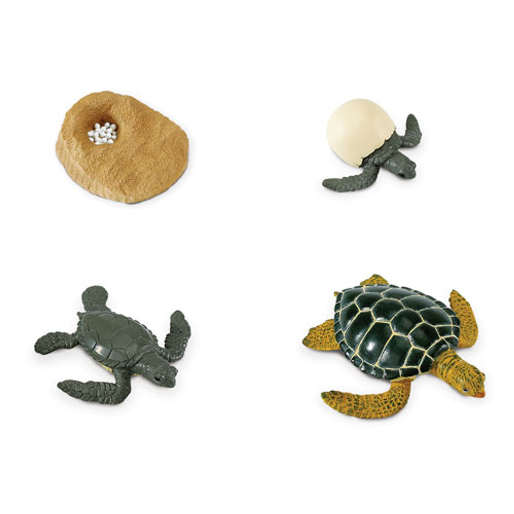 Life Cycle of a Turtle