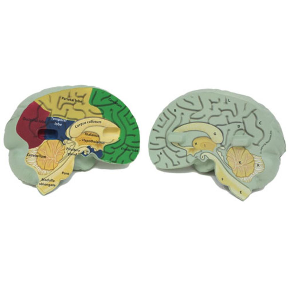 Cross-section Brain Model