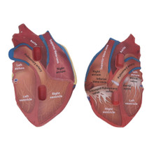 Cross-section Heart Model