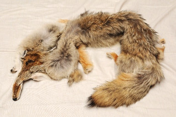 Genuine Coyote Fur Pelt