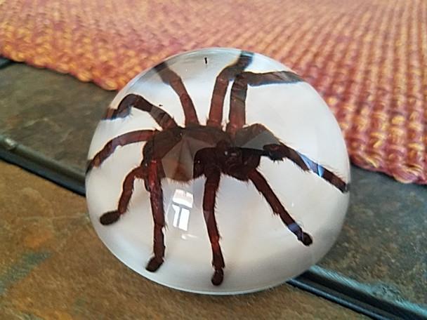 Tarantula Paperweight Dome
