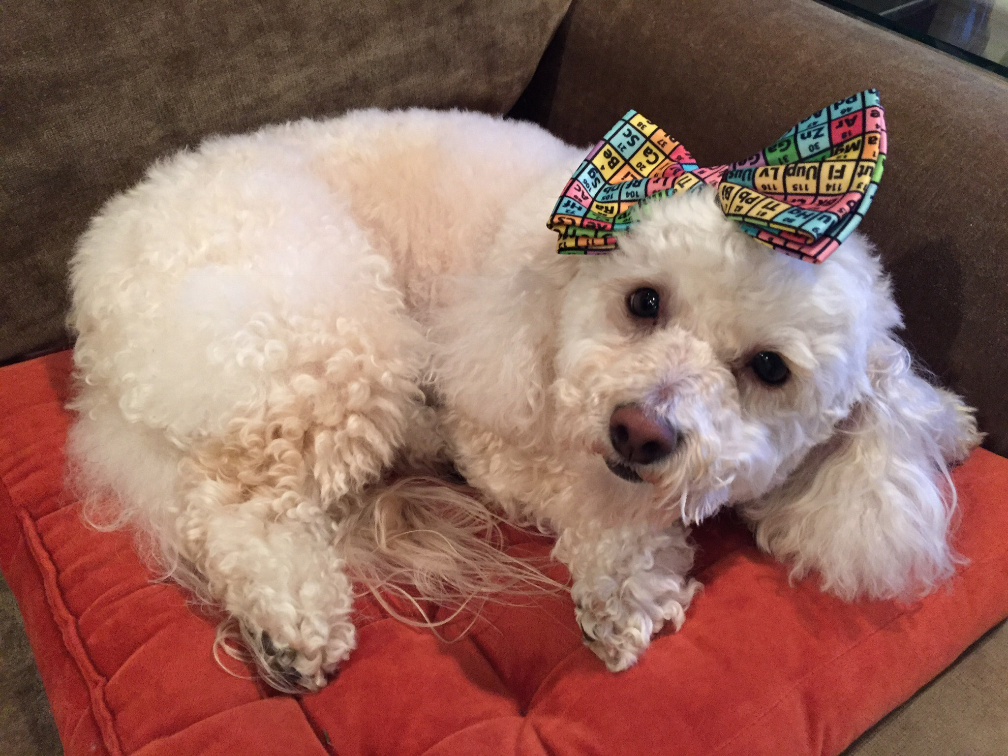 poodle-with-hair-bow.jpg