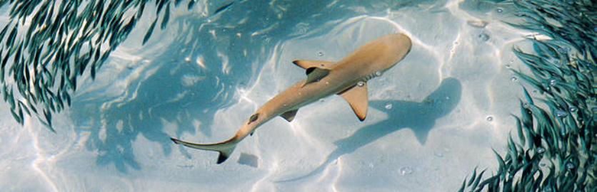 sharkcat.png