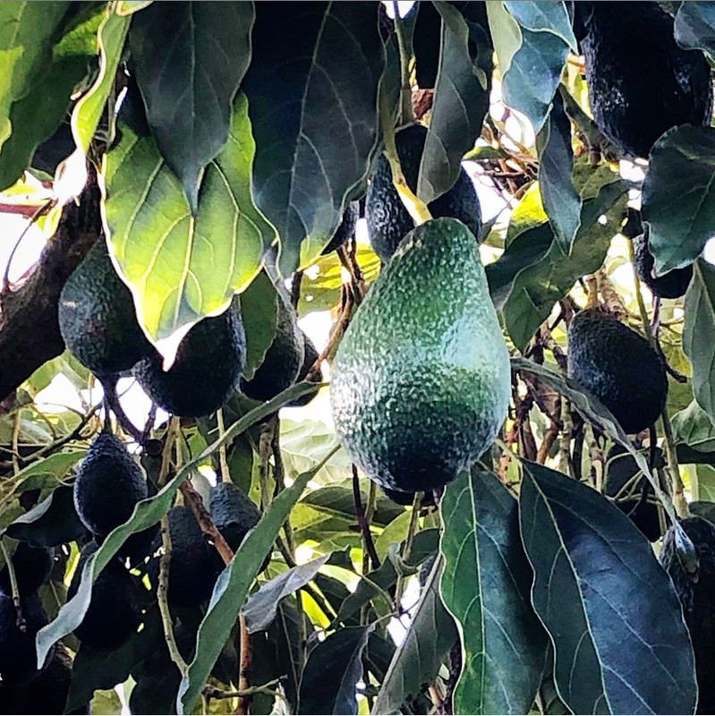 Hass avocados growing on the trees!