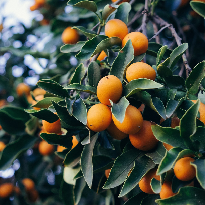 Kumquats growing on the trees.