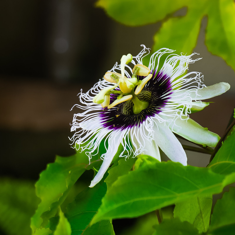 Passionfruit flower growing on vine.