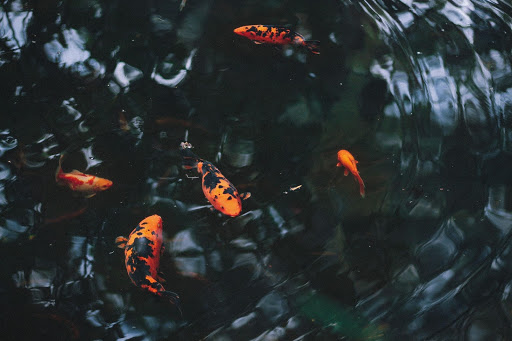 fish-in-pond.jpg