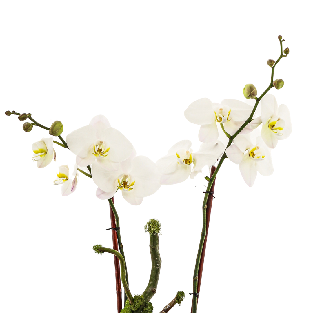 Germany Boat Small - Double Phalaenopsis Orchid