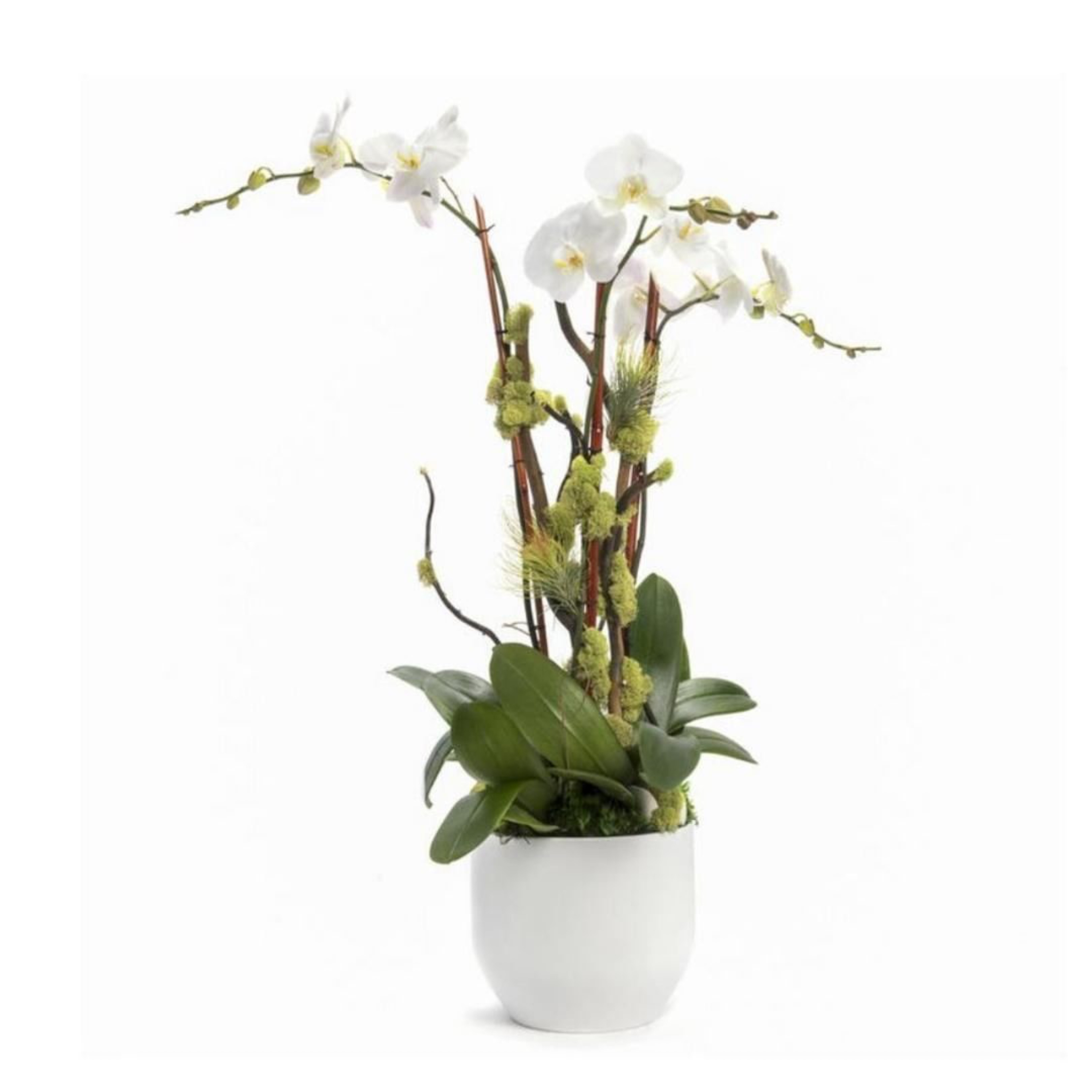 """Germany Round Large White -  Triple Phalaenopsis Orchid (30"""" H x 8.5"""" D)"""