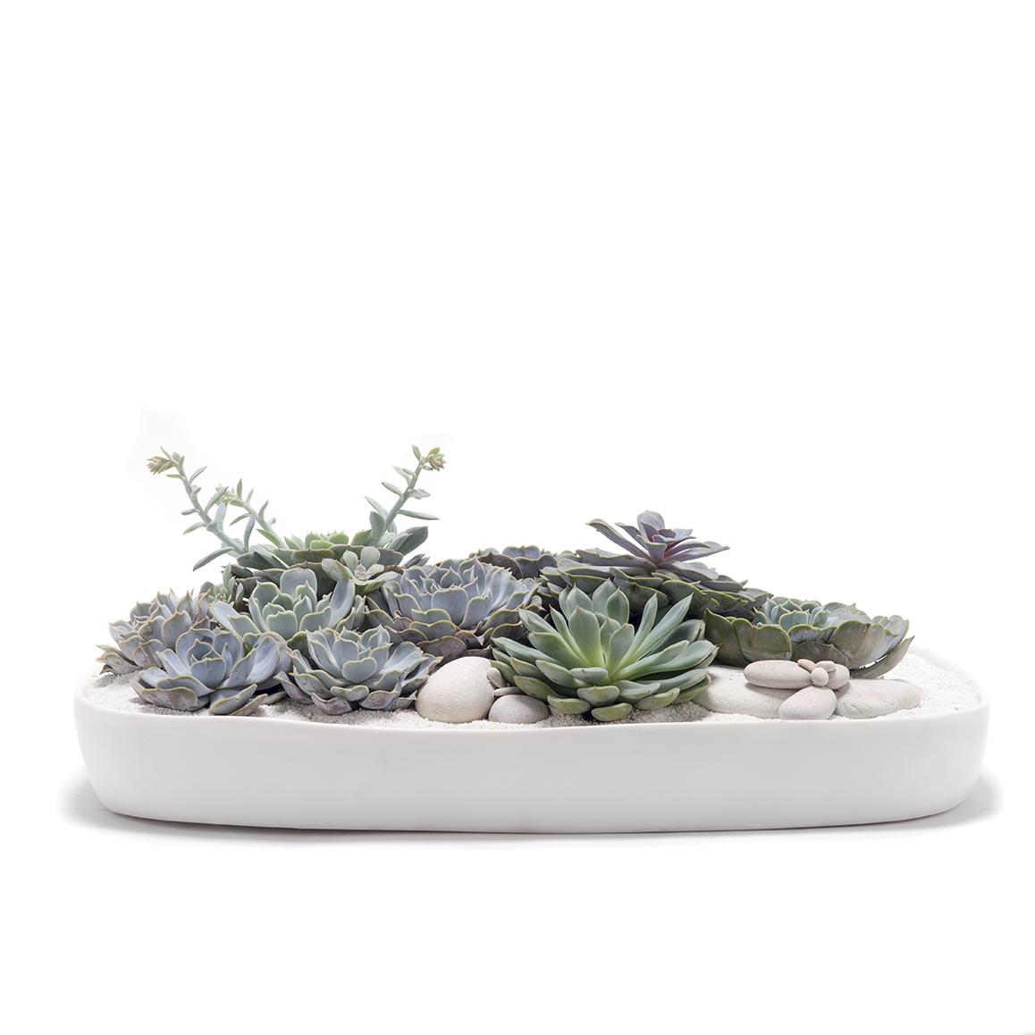 California Rectangle Large White - Echeveria Succulents