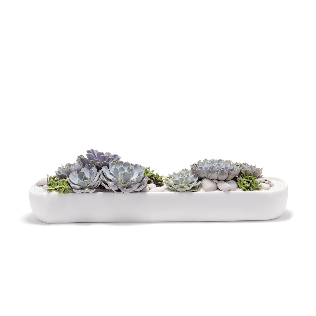 "California Long Small White - Echeverria Succulents (7"" H x 21.5"" W)"