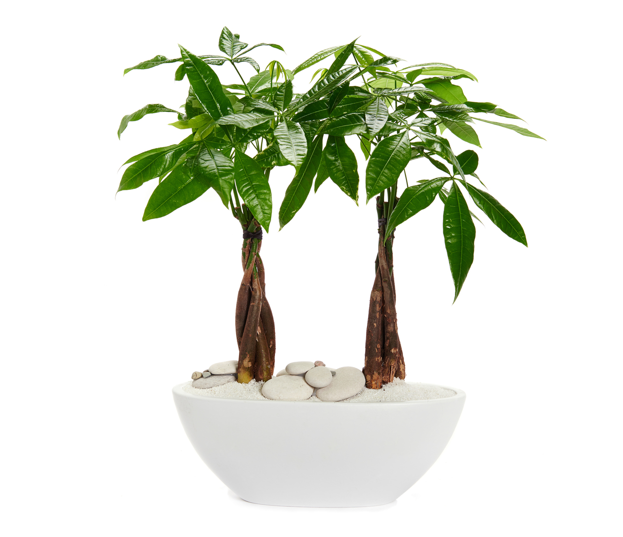 "Germany Boat Small White - Double Money Tree (12"" H x 11.75"" W)"