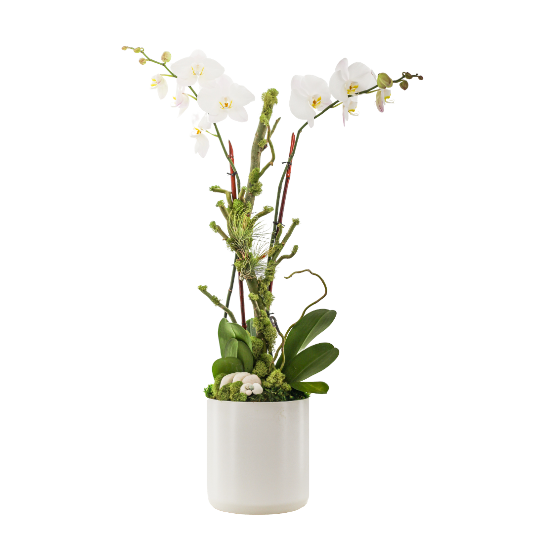 """Germany Round Medium White - Double Phalaenopsis Orchid (30"""" H x 8"""" D)"""