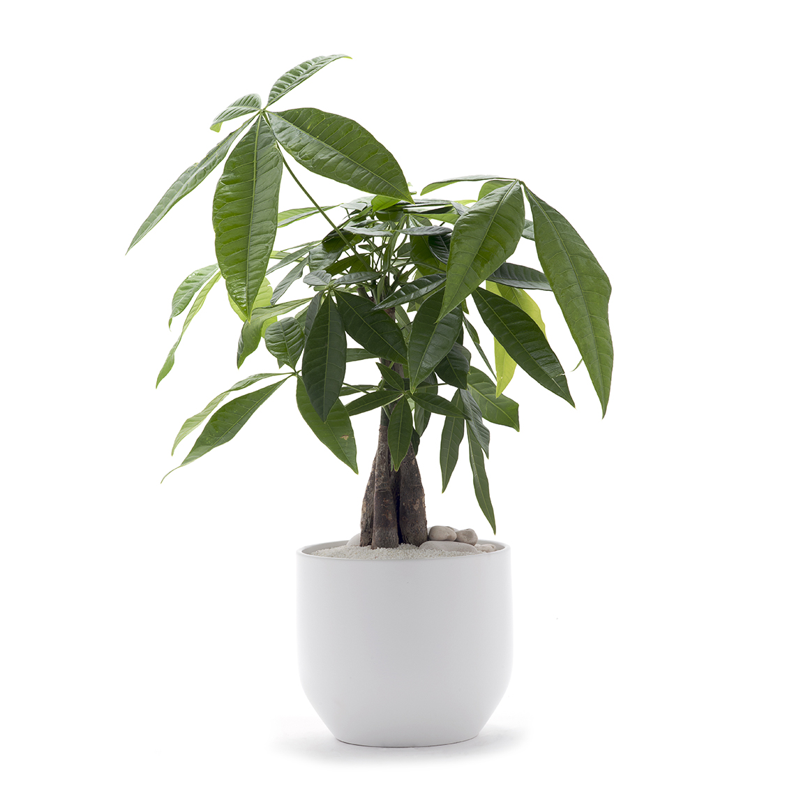 Small money tree in white round planter