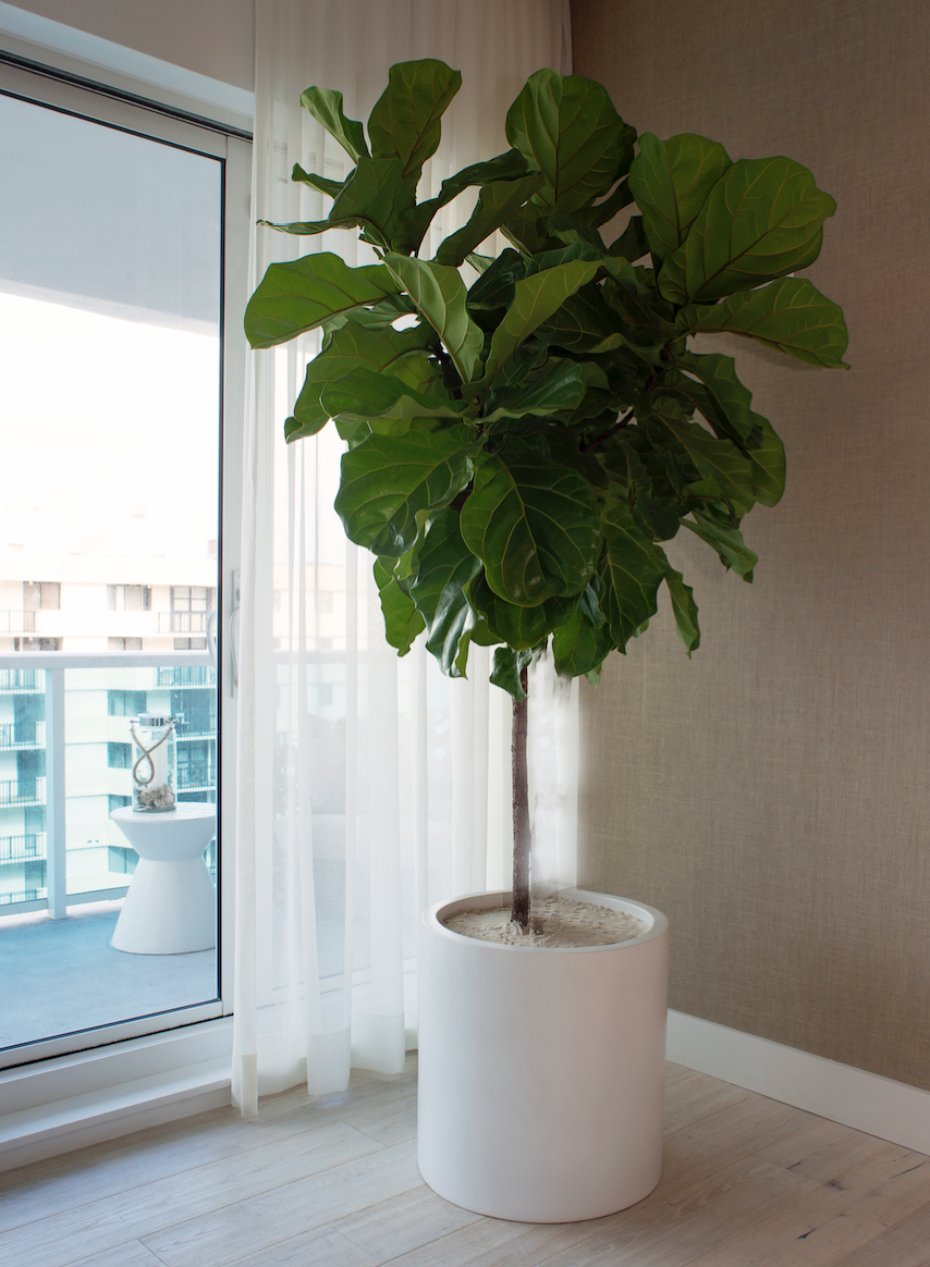 Milano Cylinder Small White – Ficus Lyrata (Fiddle Leaf Tree)