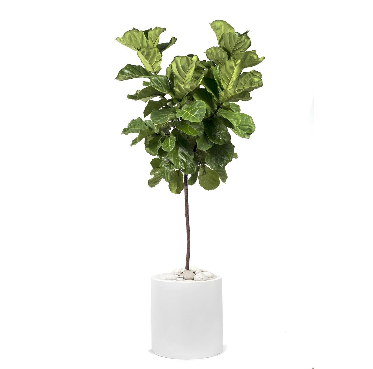 Milano Cylinder Small White – Ficus Lyrata Fiddle Leaf Tree