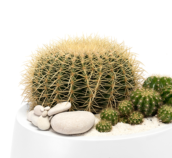 Milano Short Large White - Barrel Cactus