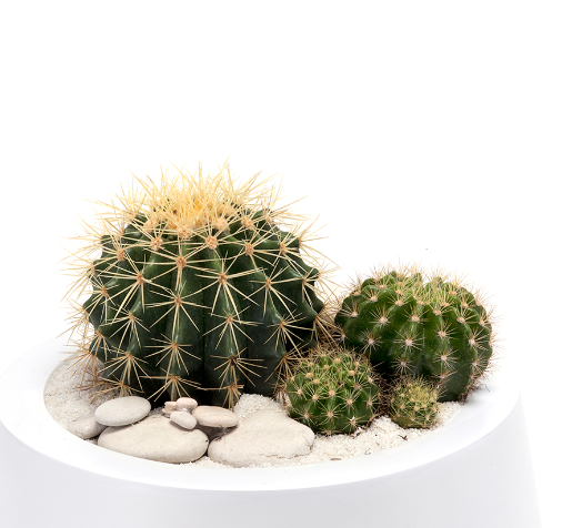 Milano Short Small  White - Barrel Cactus