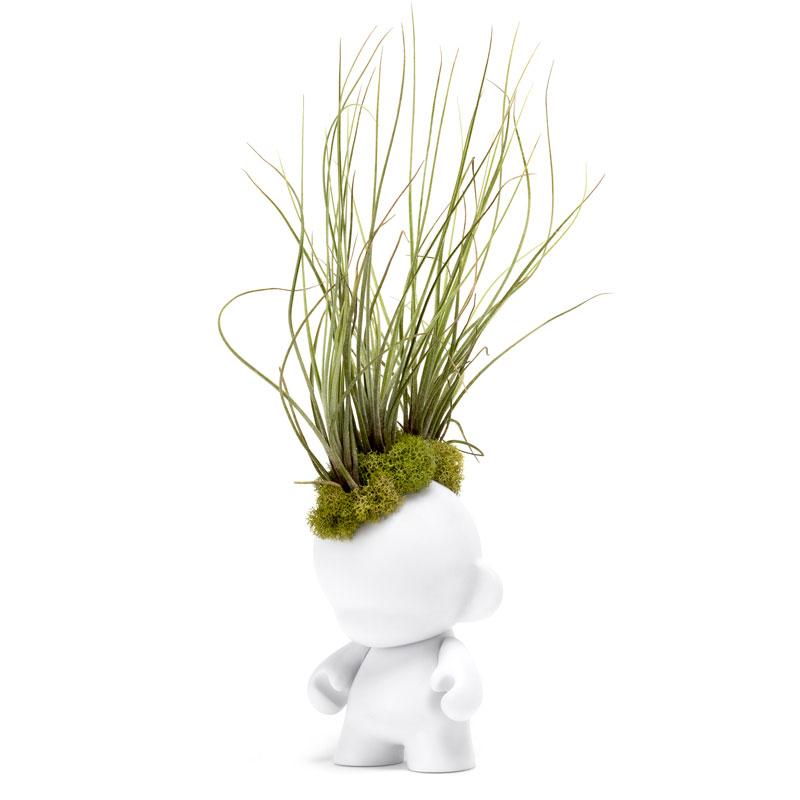 """Munny Mini Mohawk - Small Juncea Airplants (12"""" H x 3"""" W)"""