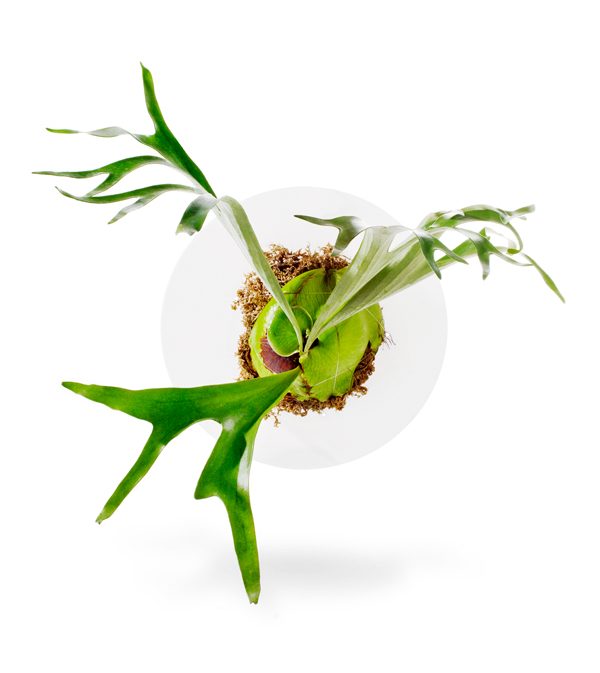 Staghorn Fern On Acrylic Disk (Made to Order)