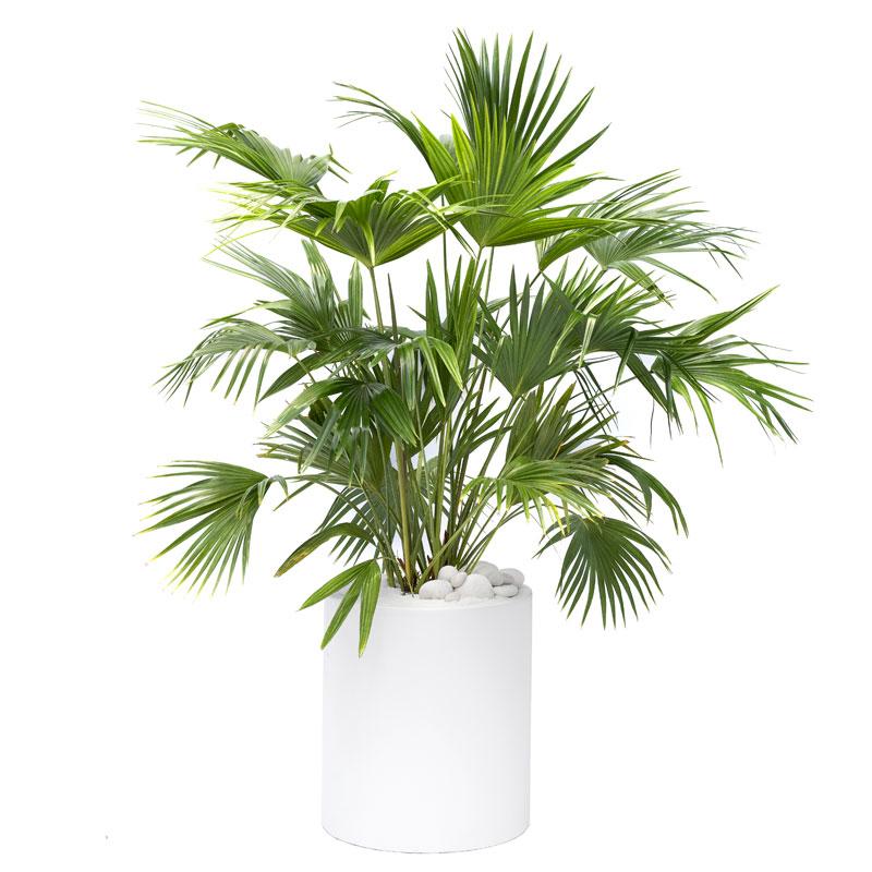 Milano Cylinder Small White – Livistona chinensis (Chinese Fan Palm)