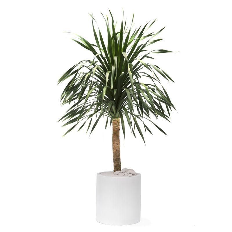 Milano Cylinder Small White – Dracaena arborea (Dracaena Tree)
